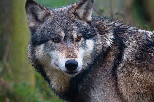 La divergenza evolutiva tra cane e lupo