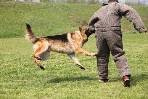 Pastore tedesco si allena ad attaccare un estraneo