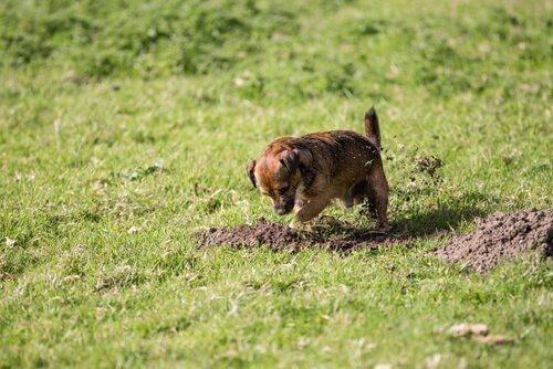 Piccolo cagnolino scava nel giardino verde