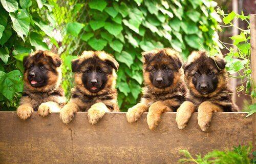 quattro cuccioli di Pastore Tedesco sporgono da un muro