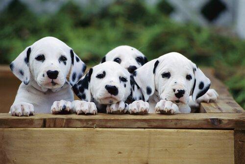 quattro cuccioli di dalmata in una cassa di legno