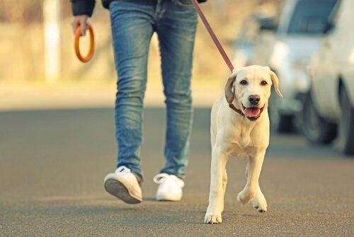 Ragazzo porta a spasso giovane labrador bianco al guinzaglio