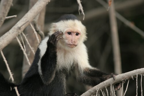 Scimmia cappuccino: scopriamo tutte le caratteristiche