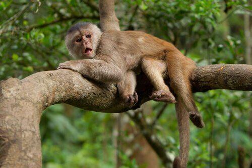 scimmia cappuccino sdraiata sull'albero