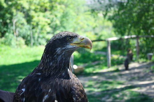 Aquila imperiale: caratteristiche e comportamento