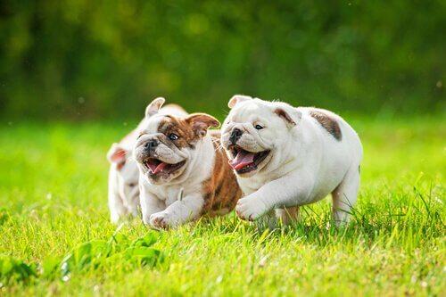 tre cuccioli di bulldog inglese corrono assieme sul prato