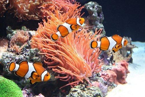 tre pesciolini pagliaccio nuotano in un acquario