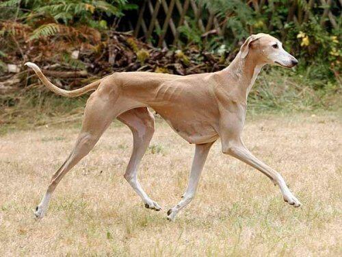 Azawakh, il cane da caccia usato dai tuareg