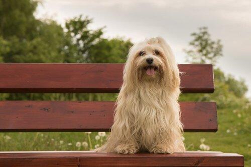 un Bichon Havanais seduto su una panchina