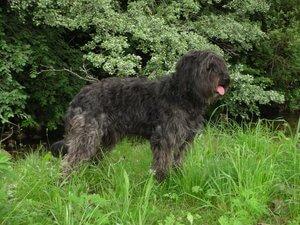un Cane da pastore catalano dal manto nero