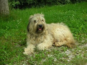 Cane da pastore catalano: storia, caratteristiche e curiosità