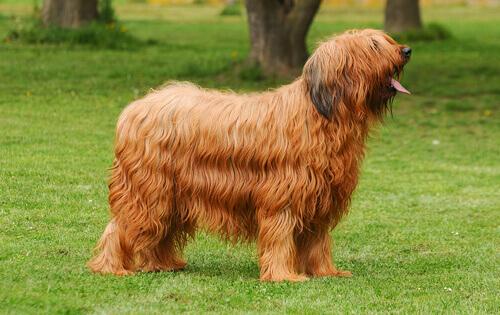 Cane da pastore di Brie, intelligente e pieno di vita