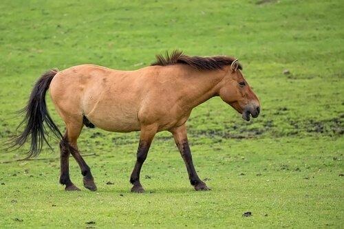 un Cavallo di Przewalski al pascolo da solo su un prato verde
