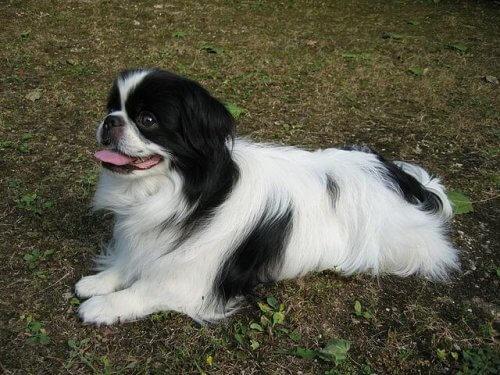 Tutto sul Chin, il cane aristocratico giapponese