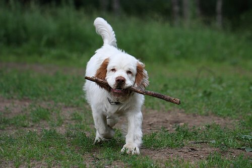 Clumber Spaniel: un cane divertente dall'aspetto pigro