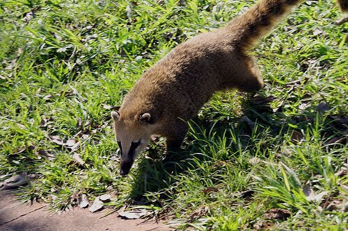 un Coati adulto cammina su un prato