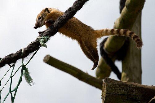 un Coati salta da un ramo all'altro