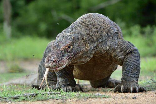 Drago di Komodo, l'ultimo dinosauro vivente