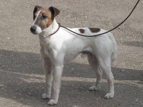 Il Fox Terrier a pelo liscio: scopriamolo assieme