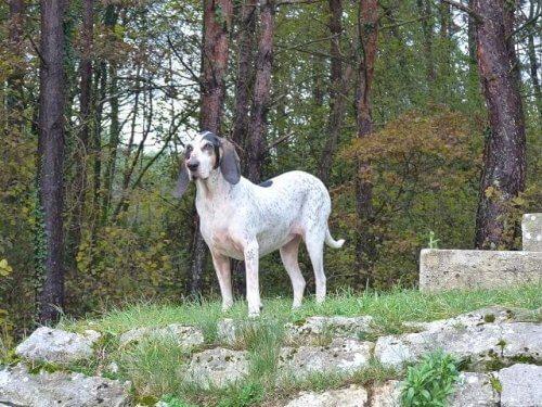 Gascon saintongeois, un grande segugio francese