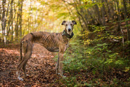Greyhound, il cane più veloce del mondo