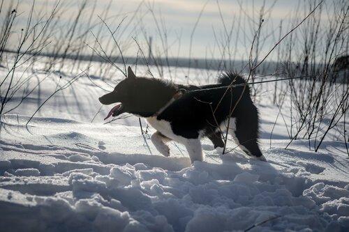 un Laika della Siberia Orientale nero nella neve