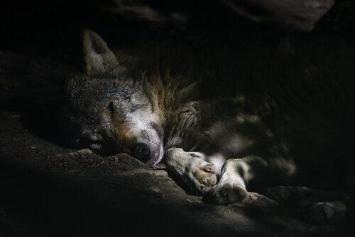 un Lupo arabo mentre dorme sdraiato di notte