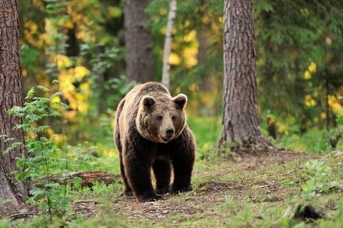 un Orso bruno cammina nel bosco