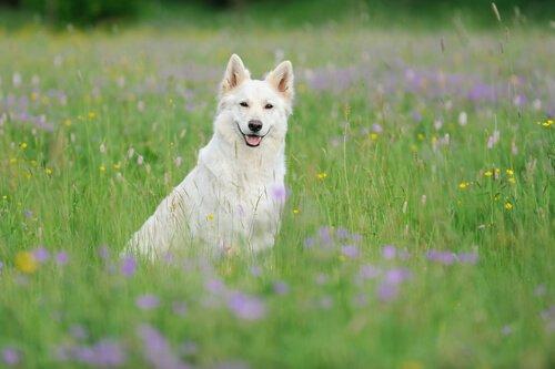 Pastore svizzero bianco, un cane bello e intelligente