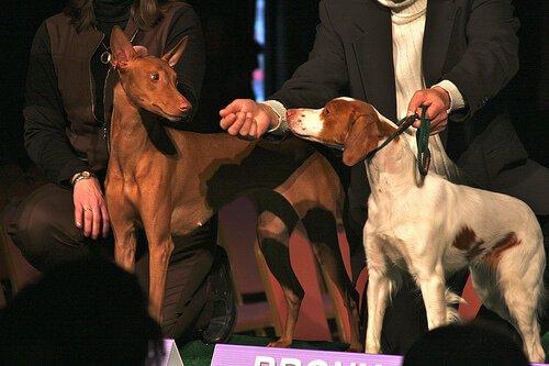 un Pharaoh Hound e un bracco competono in un concorso canino