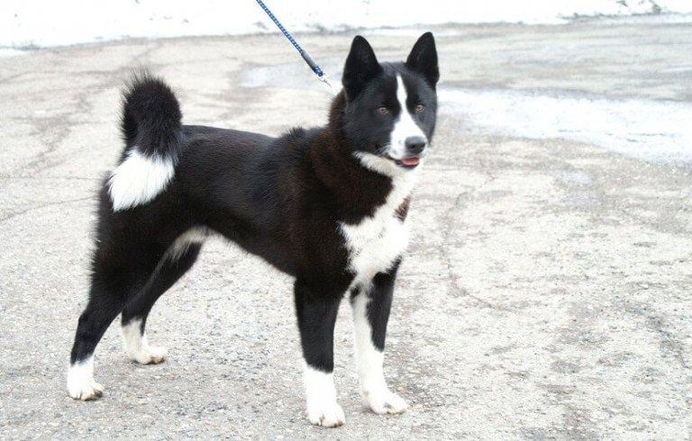 Il cane da orso della Carelia o Karjalankarhukoira