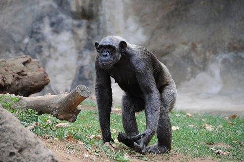 un adulto di scimpanzé cammina nel suo territorio
