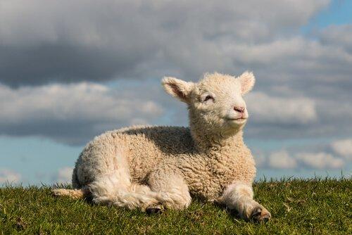un agnellino steso sul prato