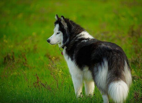 Emofilia nei cani: cause, sintomi e trattamento
