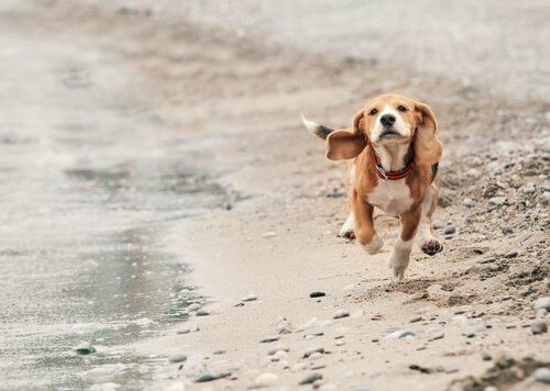 Beagle corre sul bagnasciuga