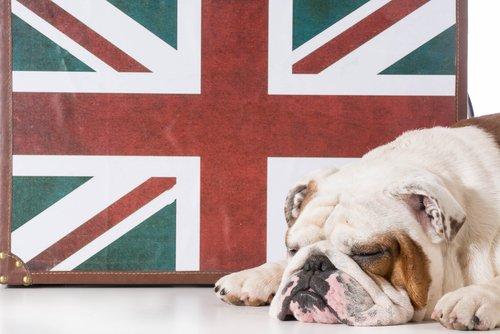 Il comportamento del bulldog inglese