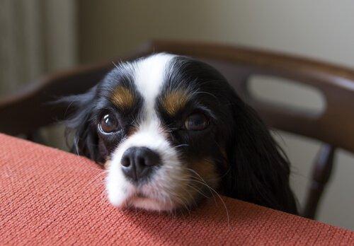 Cucciolo a tavola chiede cibo
