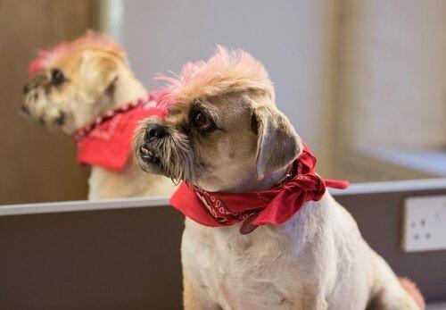 un cagnolino con i peli della testa tinti di due colori