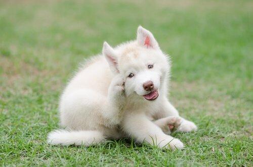 cucciolo di colore bianco si gratta un'orecchia