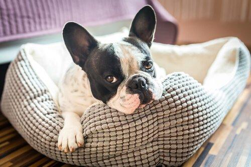 bulldog francese nella cuccia