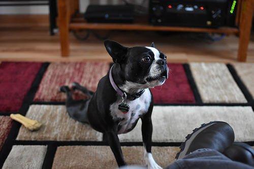 un cagnolino nero mentre stiracchia le zampe posteriori