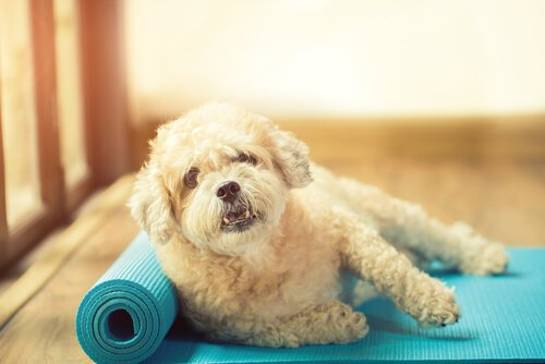 Cagnolino sdraiato su un tappetino per lo yoga