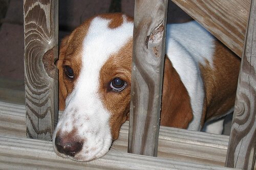 Cagnolino triste con la testa tra le sbarre di legno