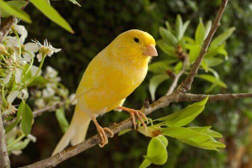 un canarino giallo tra le fronde