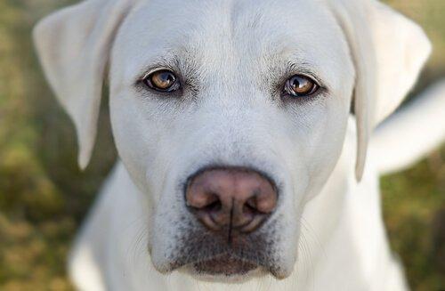 muso di cane bianco con pupille dilatate