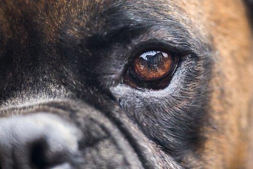 La dilatazione delle pupille nei cani
