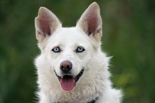 Cane lupo bianco con gli occhi azzurri