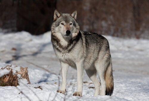 lupo sulla neve