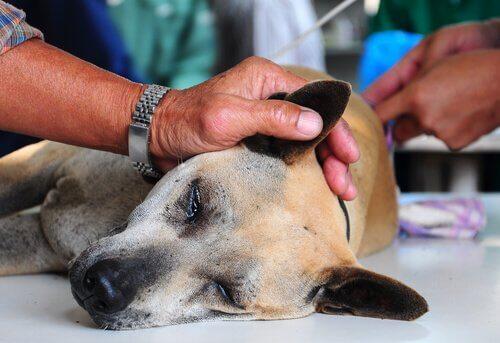 Cane sedato per controllo orecchie