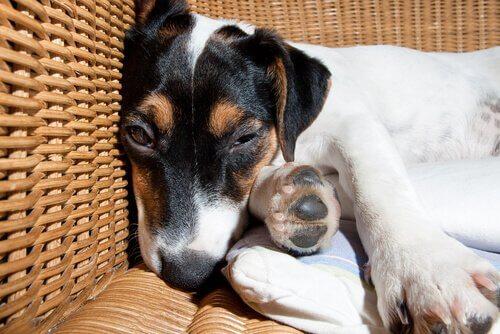 un cane spossato sonnecchia nella cuccia